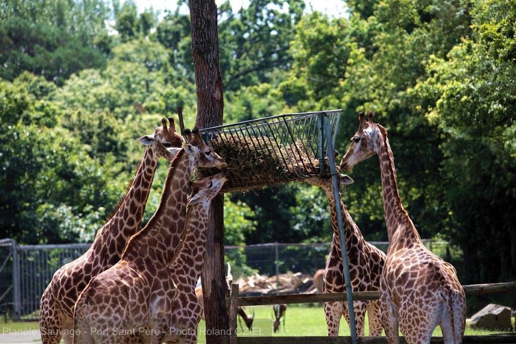 girafes de planete sauvage