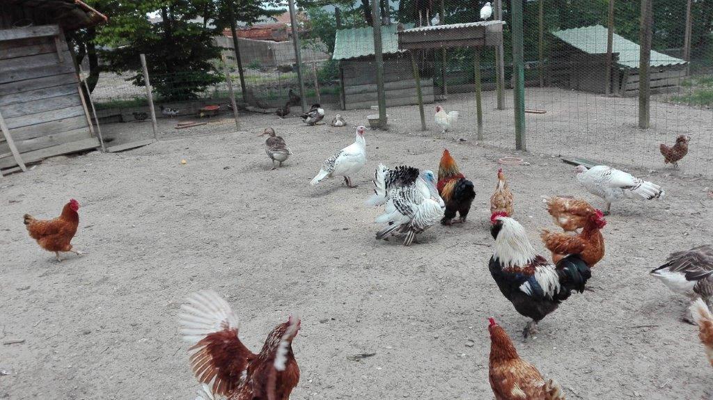 basse-cours animaux de la ferme