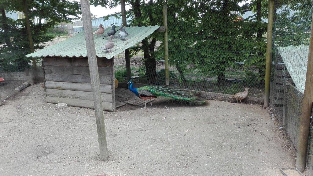 paon du camping à la ferme